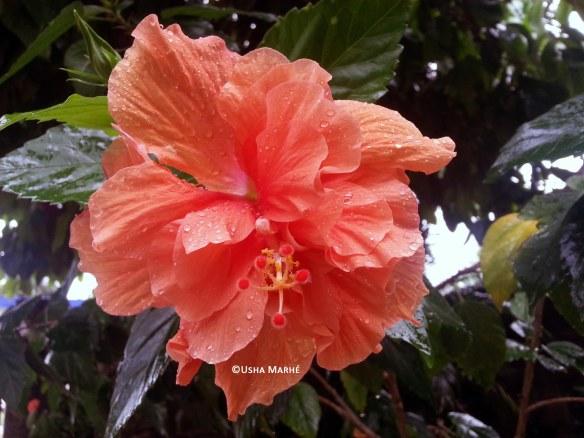 Surinaamse bloem: hangalampoe